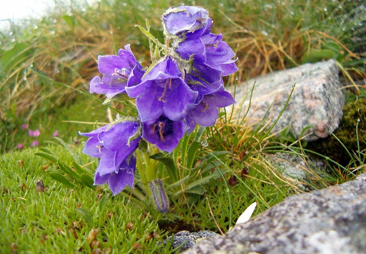 Blue Bells in the High Tatras