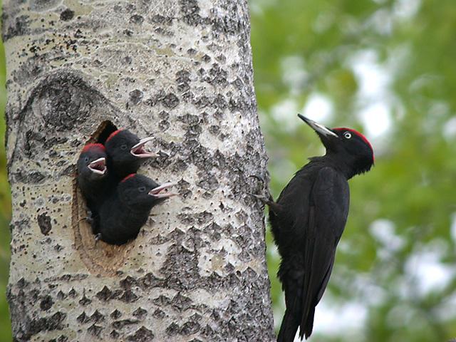 Black woodpecker bird