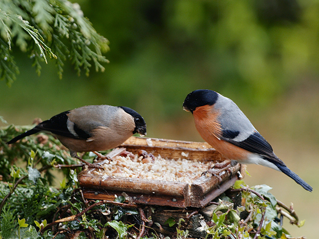 Common bullfinch bird