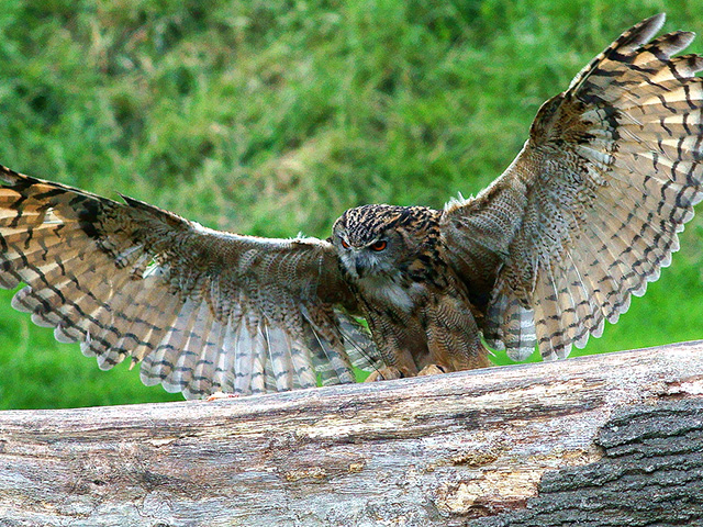 Eurasian eagle-owl bird