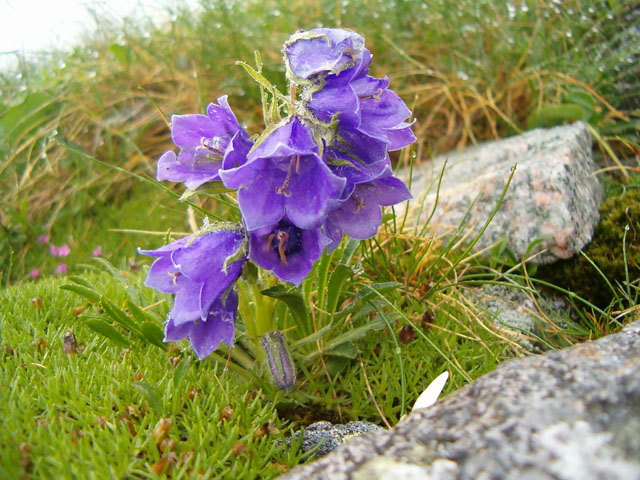 High Tatras flora