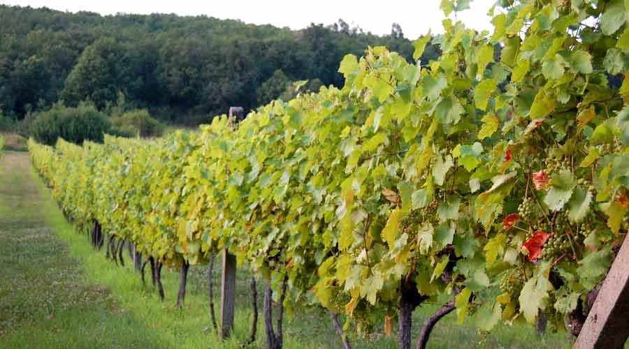 Tekov Wine Route - Cajkov Vineyard