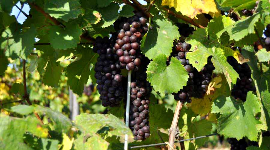Tokaj Grapes