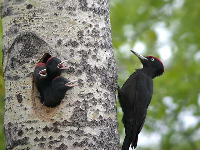 Black woodpecker bird