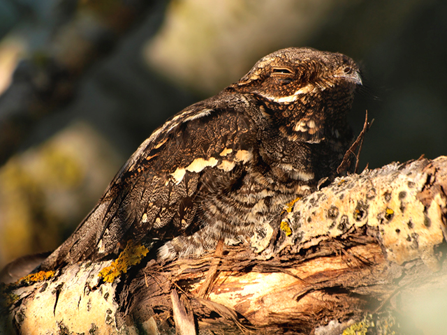 Eurasian nightjar bird