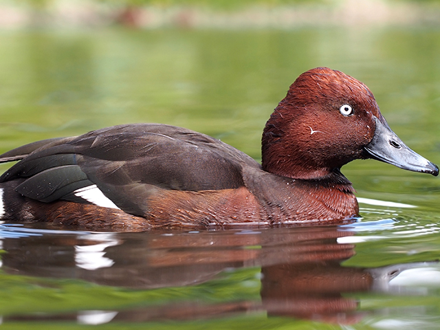 Ferruginous duck bird