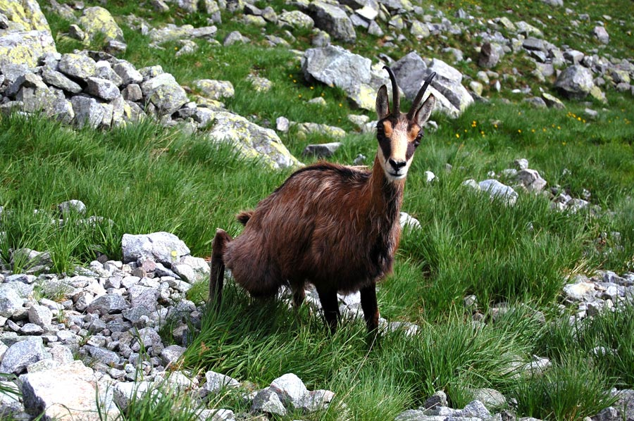 Belianske Tatras - chamois