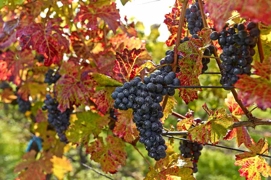 Wine Grapes - Skalicky Rubin